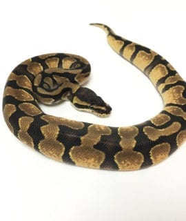 Male Enchi poss het Pied Royal Python CB19