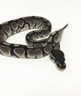 Female Axanthic poss het Pied Royal Python CB19