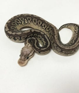 Male Pewter het Clown Royal Python CB19