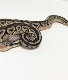 Female Pewter het Clown Royal Python CB19