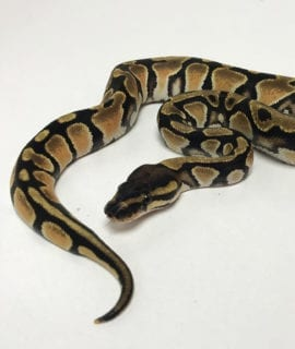 Female Orange Dream poss het Pied Royal Python CB19