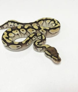 Female Lesser Orange Dream poss het Pied Royal Python CB19