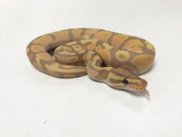 Male Enchi Banana poss het Pied Royal Python CB19