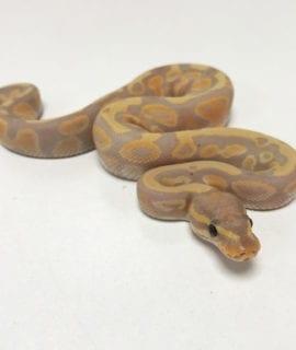 Male Banana poss het Pied Royal Python CB19