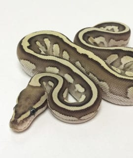 Male Fire possible Orange Dream poss het Pied Royal Python CB19