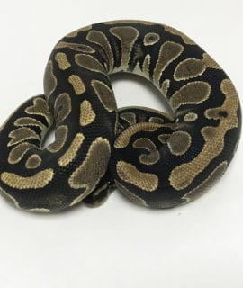 Female Classic double het Ghost, Pied Royal Python CB19