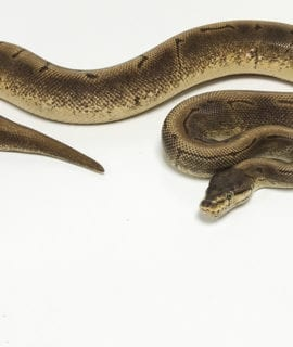 Female Spinner Royal Python CB 1.7kg