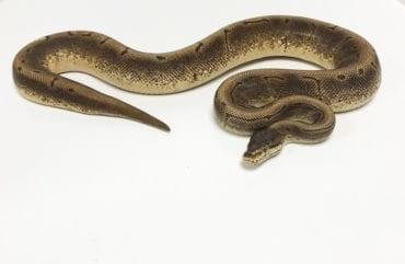 Female Spinner Royal Python CB 1.7kg