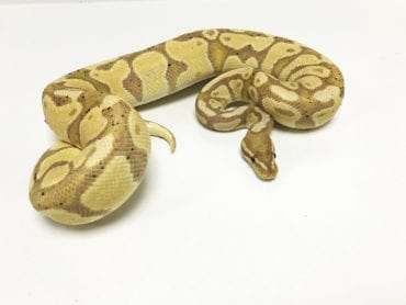 Male Banana het Clown Royal Python 550g CB