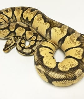 Female Super Pastel Enchi Royal Python 1.3kg CB17