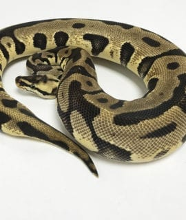 Female Pastel Leopard Royal Python 400g CB18