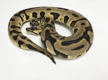 Female Pastel Leopard Royal Python 400g CB18