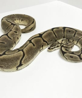 Female Leopard Spider Royal Python CB16