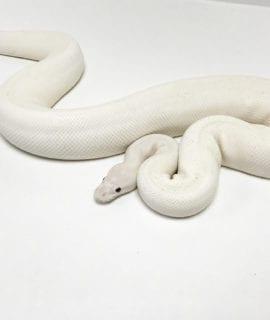 Male Ivory het Pied Royal Python CB17