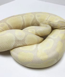 Female Lavender Albino Royal Python 1800g CB16