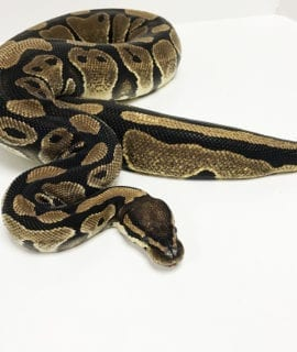 Female Classic Royal Python 2.5kg CB16