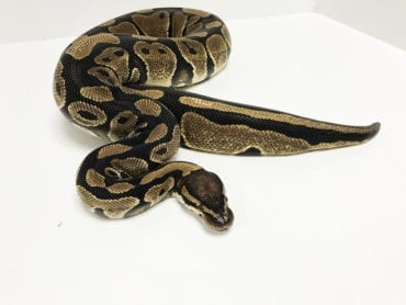 Female Classic Royal Python 2750g CB16