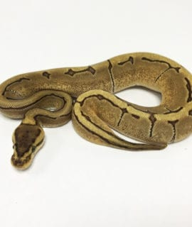 Female Fire Enchi Pinstripe Royal Python CB19