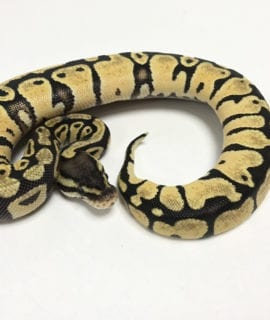 Female Pastel het Pied Royal Python CB19