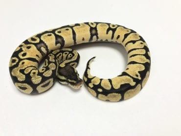 Female Pastel het Pied Royal Python CB19