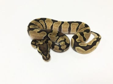 Male Enchi Royal Python CB19