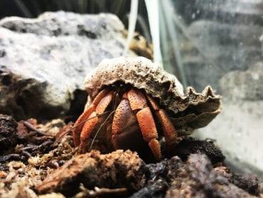 Purple Pincher Hermit Crab WC