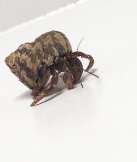 Hermit Crab WC