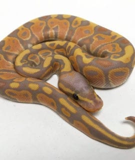 Male Banana ph Clown Royal Python CB19