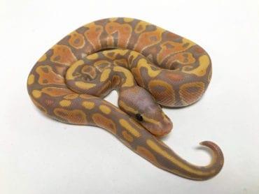 Male Banana ph Clown Royal Python CB19