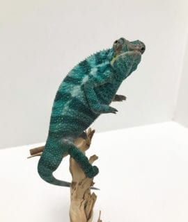 Male Nosy Be Panther Chameleon CB19