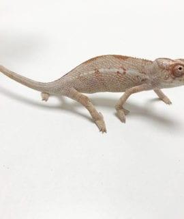Female Nosy Mitsio Panther Chameleon CB19