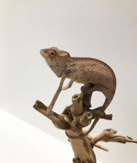 Female Sambava Panther Chameleon CB19