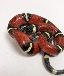 Sinaloan Milk Snake CB19