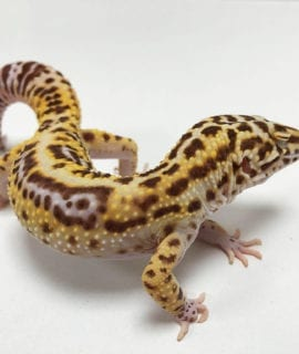 Male Sunfire Leopard Gecko CB17