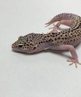 Female Eclipse het Bell 50% het Murphy Leopard Gecko CB18