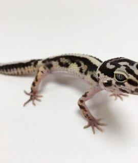 Female Zorro Striped Leopard Gecko CB19