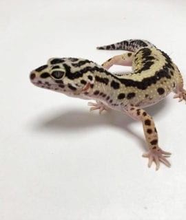 Female Zorro Striped Leopard Gecko CB18