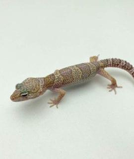 Male Bell Albino Leopard Gecko CB19