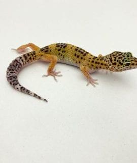 Classic Leopard Gecko CB20