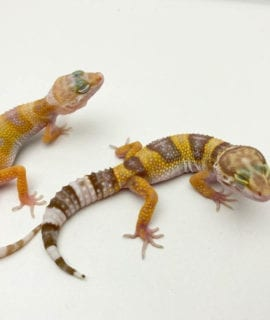 Bell Albino Leopard Gecko CB20