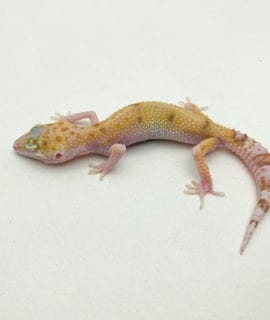 Female Eclipse Leopard Gecko CB19