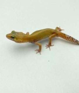 Male Hypo Leopard Gecko CB20