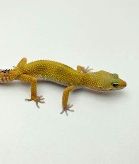 Female Hypo Leopard Gecko CB19