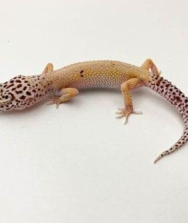 Female Bell Albino Eclipse Leopard Gecko CB19