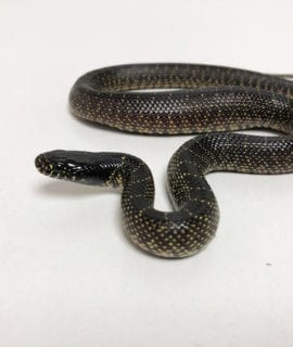 Florida King Snake CB19