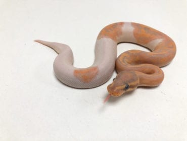Male Banana Pied Royal Python CB19