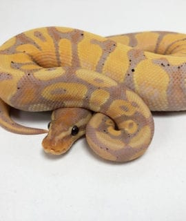 Male Coral Royal Python CB19