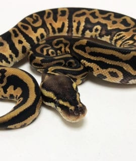 Female Leopard Pastel Royal Python CB19