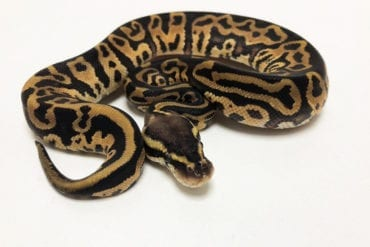 Female Leopard Pastel Royal Python CB19