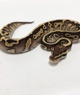 Male Leopard Butter Royal Python CB19